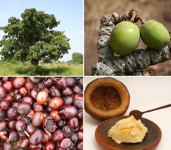 дерево Ши и плоды