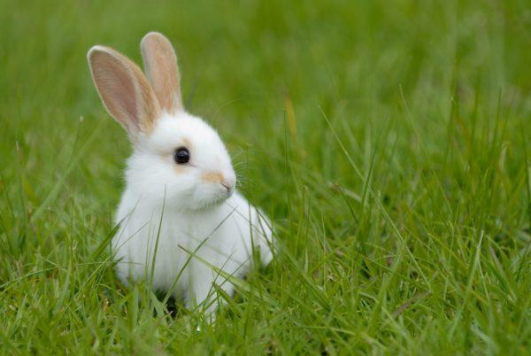 К чему снятся кролик