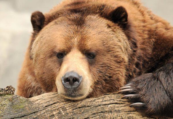К чему снится медведь беременной женщине