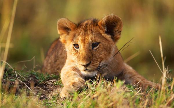К чему снится львенок