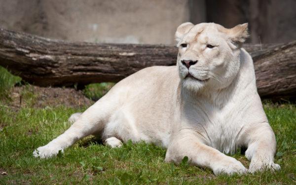Белая хищница