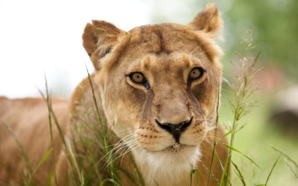 Образ львицы во сне