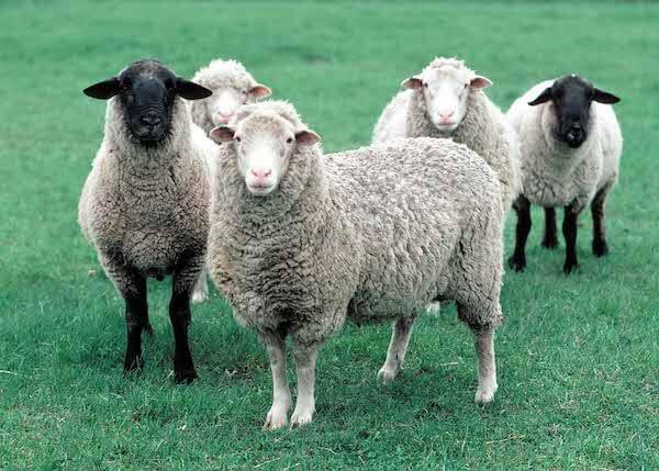 снится стадо овец