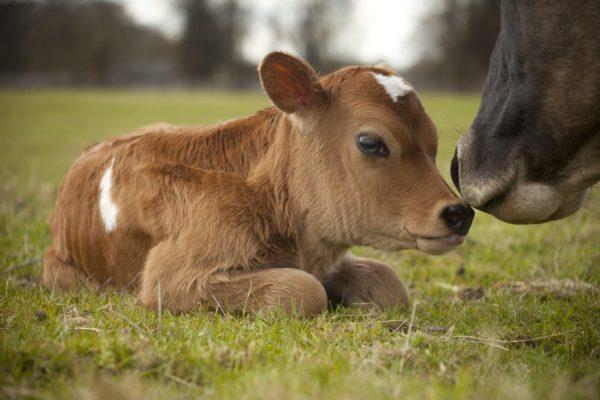 К чему снится теленок