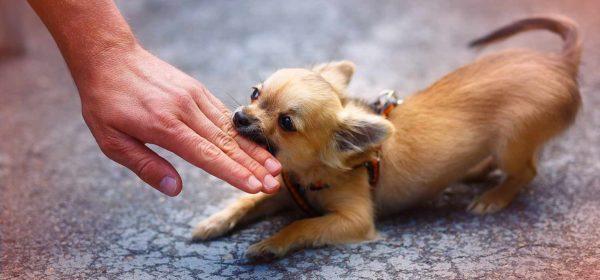 Нападает маленькая собака