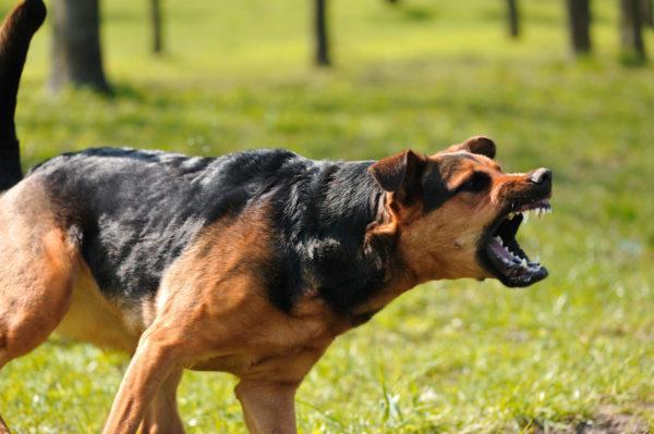 Злая собака нападает